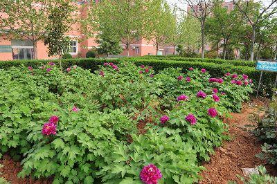 双语学校花园牡丹竞相开放